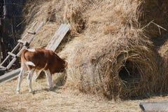 吃干草的小牛在干草堆埋没了他的头 库存图片