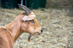 吃干草的布朗山羊 免版税图库摄影