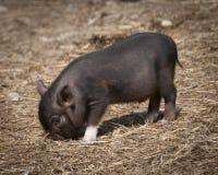 吃干草的微小的黑小猪 库存照片