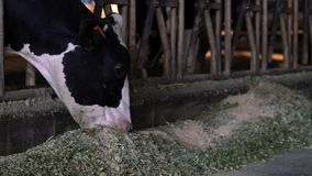 吃干草的慢动作家畜在谷仓 吃草在农场的牛母牛 股票录像
