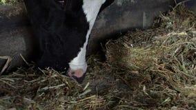 吃干草的慢动作家畜在谷仓 吃草在农场的牛母牛 股票视频