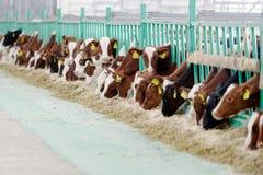 吃干草的母牛在奶牛场的牛棚 图库摄影