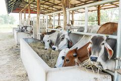 吃干草的母牛在牛棚 免版税库存照片