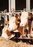 吃干草的母牛在牛棚 免版税库存图片
