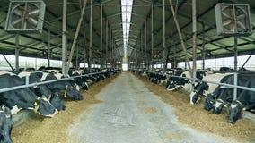 吃干草的母牛在谷仓 牛在现代奶牛场 养殖在农场的母牛 股票视频