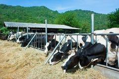 吃干草的母牛牧群在槽枥 免版税库存图片