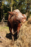 吃干草的母牛 免版税图库摄影