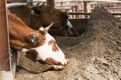 吃干草的母牛 免版税库存图片