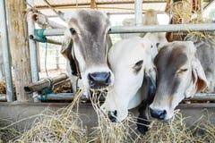 吃干草的白色母牛在牛棚 免版税图库摄影