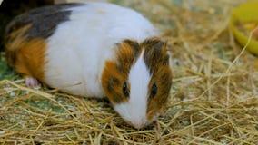 吃干草的试验品在动物园里 免版税库存照片