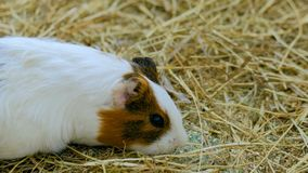吃干草的试验品在动物园里 库存照片