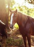 吃干草的马在日落 免版税库存图片