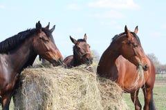吃干草的马牧群 图库摄影