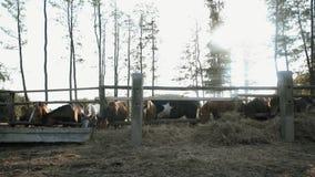吃干草的马群  影视素材
