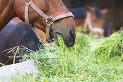 吃干草的马 免版税图库摄影