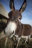 吃干草的驴 库存照片