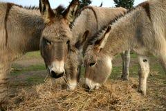 吃干草的驴 库存图片