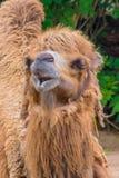 吃干草的骆驼独峰驼蓬松棕色毛皮 图库摄影