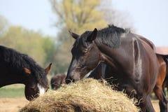 吃干草的黑色马 库存照片