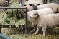 吃干草的绵羊 免版税库存图片
