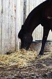 吃干草的黑色马 免版税库存图片