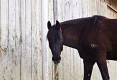 吃干草的黑色马 免版税库存照片