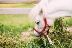 吃干草,草的白色小马 关闭头,枪口侧视图  免版税库存图片