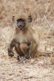 吃年轻人的狒狒 免版税库存图片
