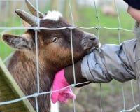 吃幼儿的衣裳矮小非洲山羊 免版税库存图片