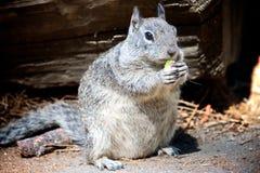 吃开心果的灰鼠 库存照片