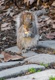 吃快餐的饥饿的灰鼠 库存图片