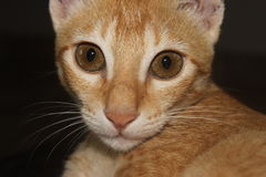 吃惊的姜猫 免版税库存照片