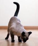 吃成人暹罗猫 库存图片