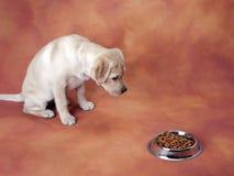吃拉布拉多小狗对等待 免版税库存照片