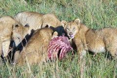 吃搜索的狮子自豪感  库存图片