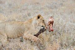 吃斑马的狮子 库存照片