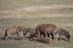 吃斑马的Hyaena小组 免版税库存图片