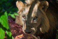 吃斑马胴体肉的狮子 免版税库存图片