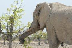 吃新鲜的叶子,纳米比亚的大象特写镜头 图库摄影