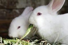 吃新鲜的草河的两白色兔子 图库摄影