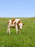 吃新鲜的草的母牛 库存照片