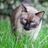 吃新鲜的草的猫 免版税库存图片