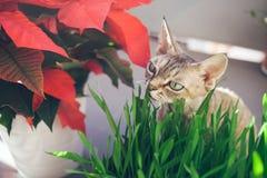 吃新鲜的绿草的一只美丽的德文郡雷克斯猫的特写镜头 宠物草 免版税库存照片