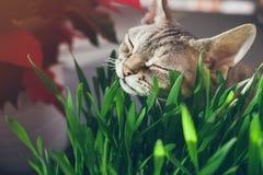 吃新鲜的绿草的一只美丽的德文郡雷克斯猫的特写镜头 免版税库存图片