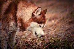 吃新鲜的绿草的红色西伯利亚爱斯基摩人狗在春天草甸 图库摄影