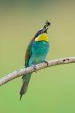 吃昆虫的食蜂鸟 图库摄影