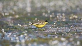 吃昆虫的黄色令科之鸟 影视素材