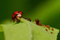 吃昆虫 免版税库存照片