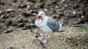 吃星鱼的海鸥 免版税库存图片