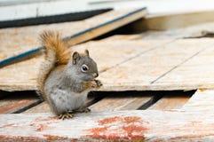 吃有些坚果的布朗灰鼠 库存照片